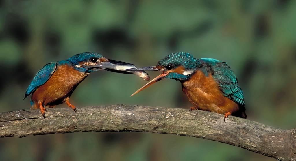 Offrande - King-fishers