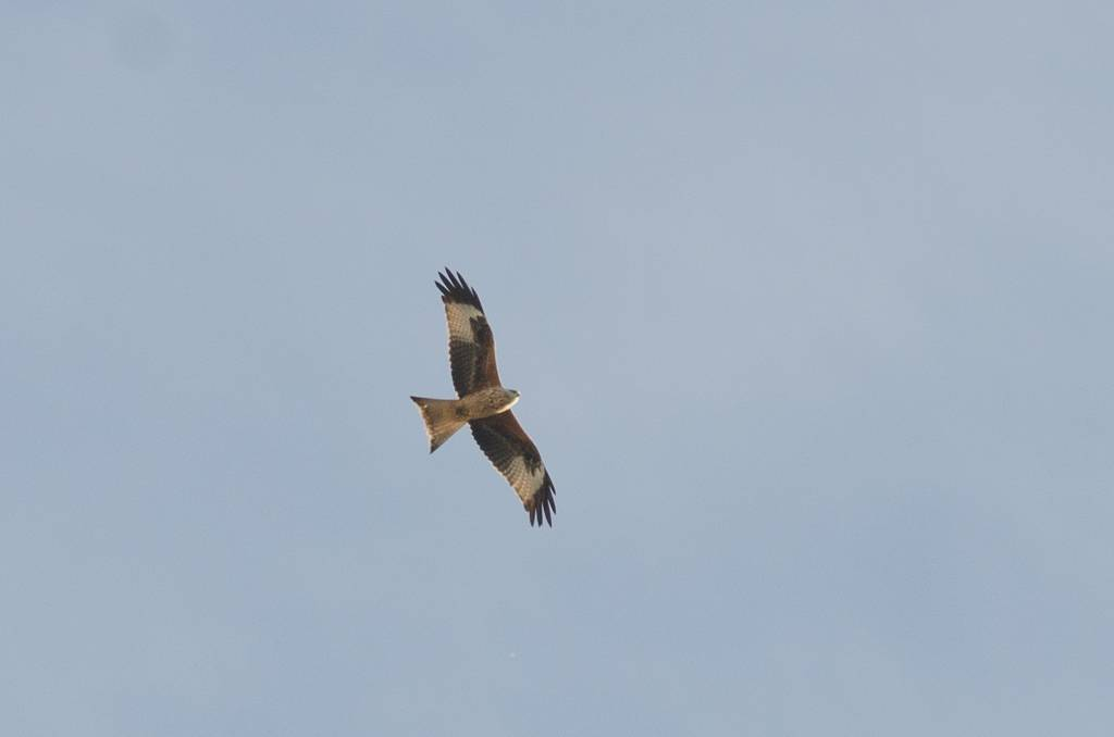 Red Kite (Milan royal)