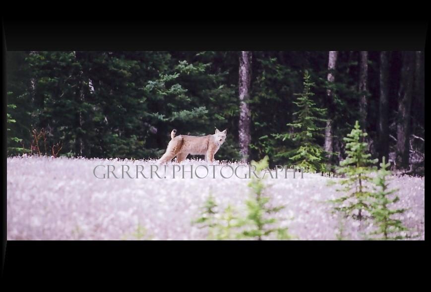 Lynx basking in the sun