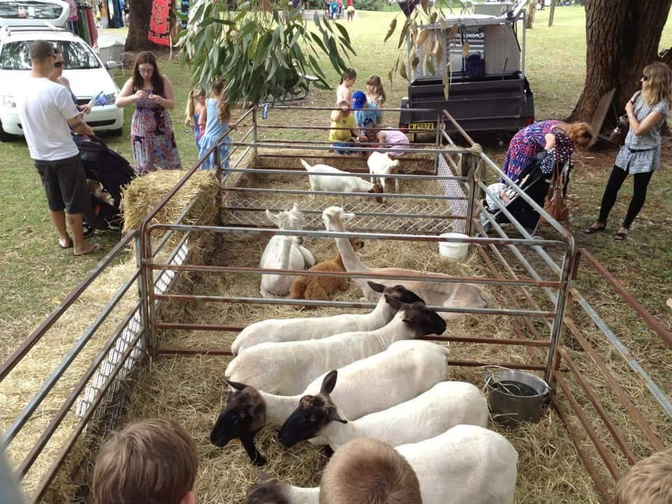 Shorn sheep and alpacas at Fly Point