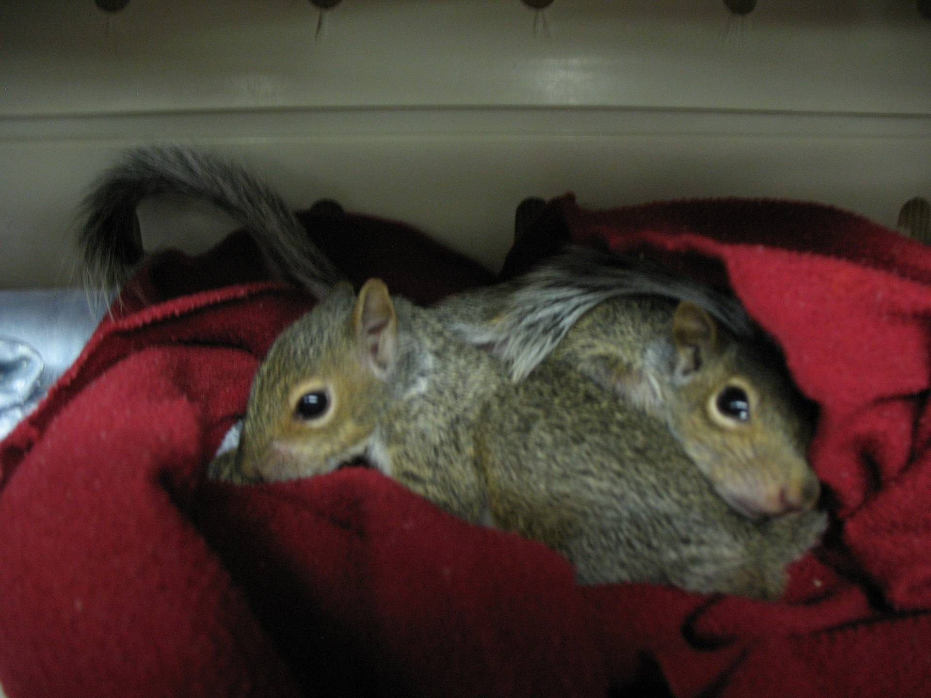Two baby Eastern Gray Squirrels