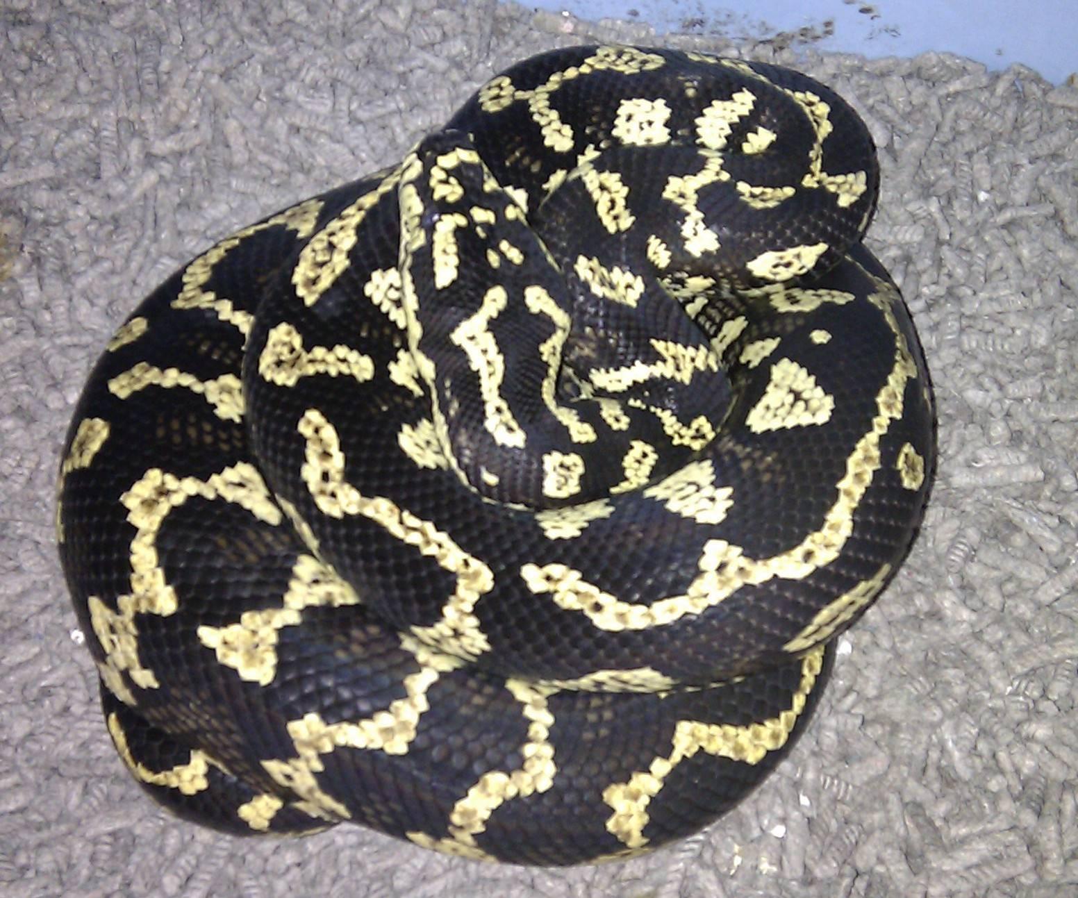 Jungle Carpet - Palmerston Female #2