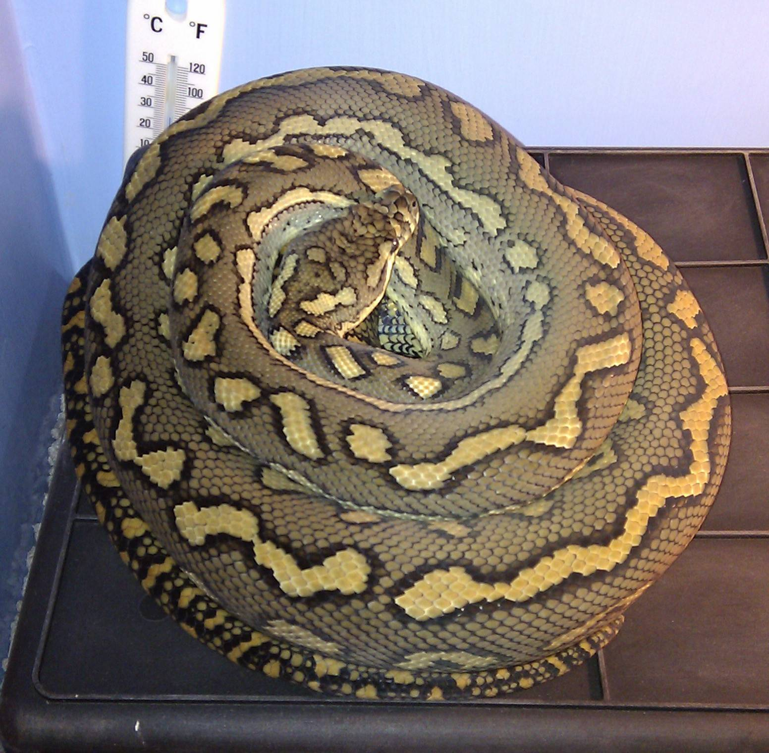 Coastal Carpet Prossie Male Breeder #1