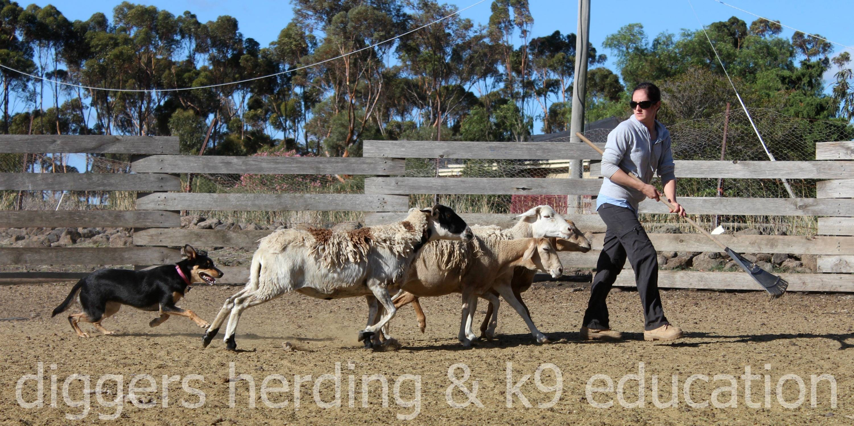 Diggers Herding & K9 Education, 335 Settlement Road , Sunbury, Victoria, 3429, Australia