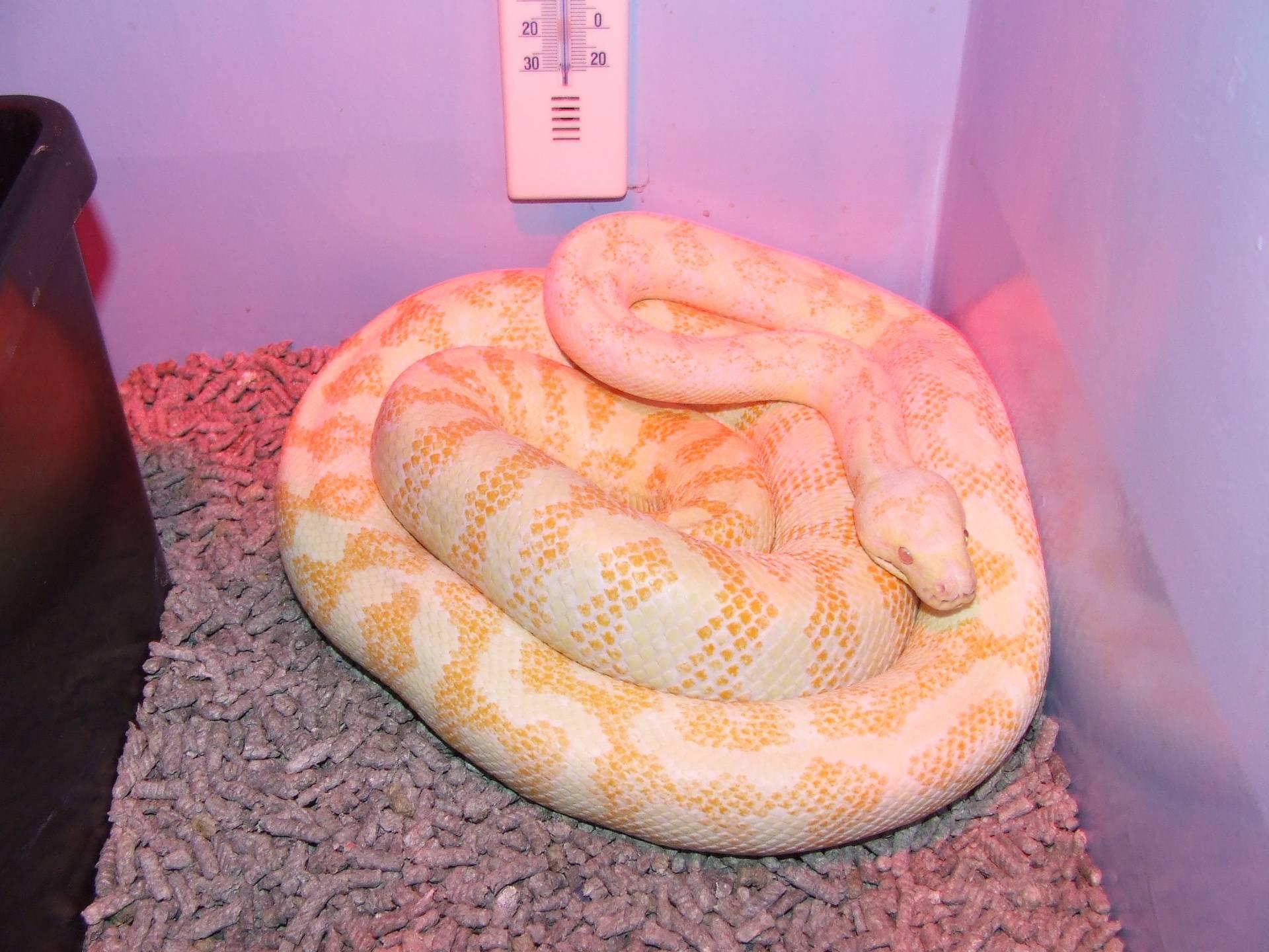Darwin carpet Albino - Female #2