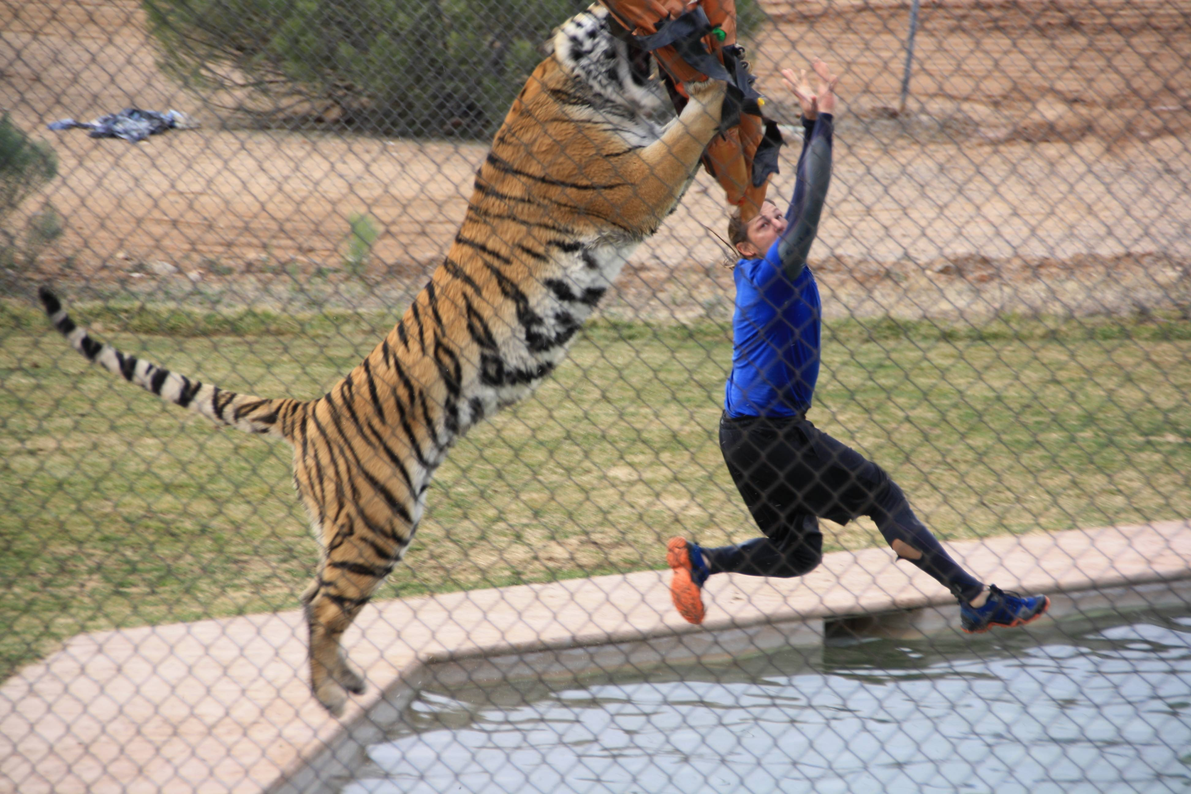 Tiger show at Out of Africa park in Camp Verde AZ
