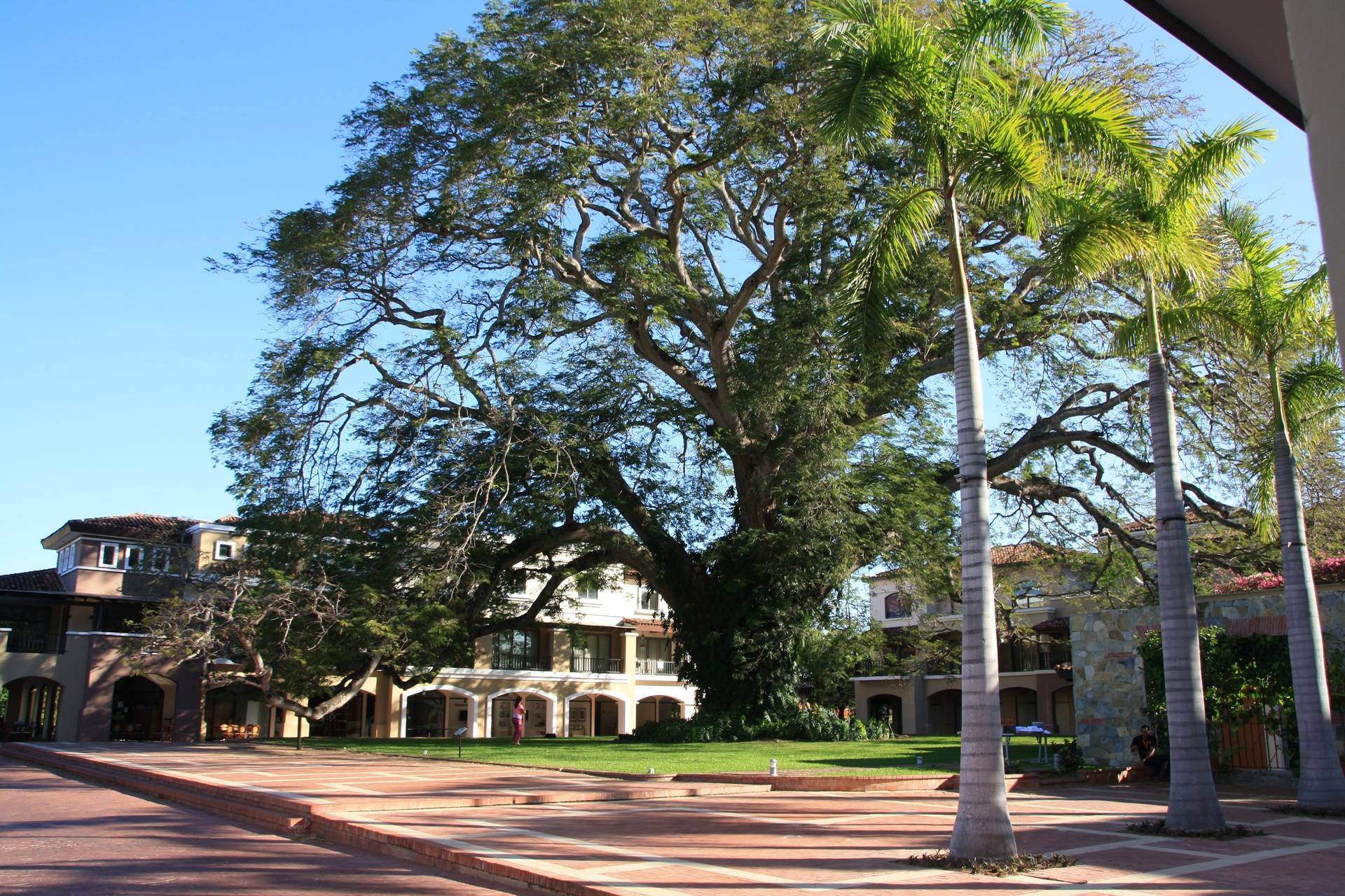 Tree at JW Marriott Hotel in Playa Banca