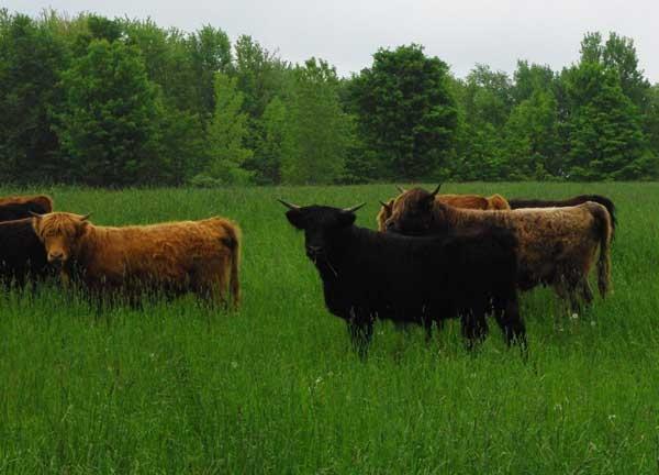 Group of heifers