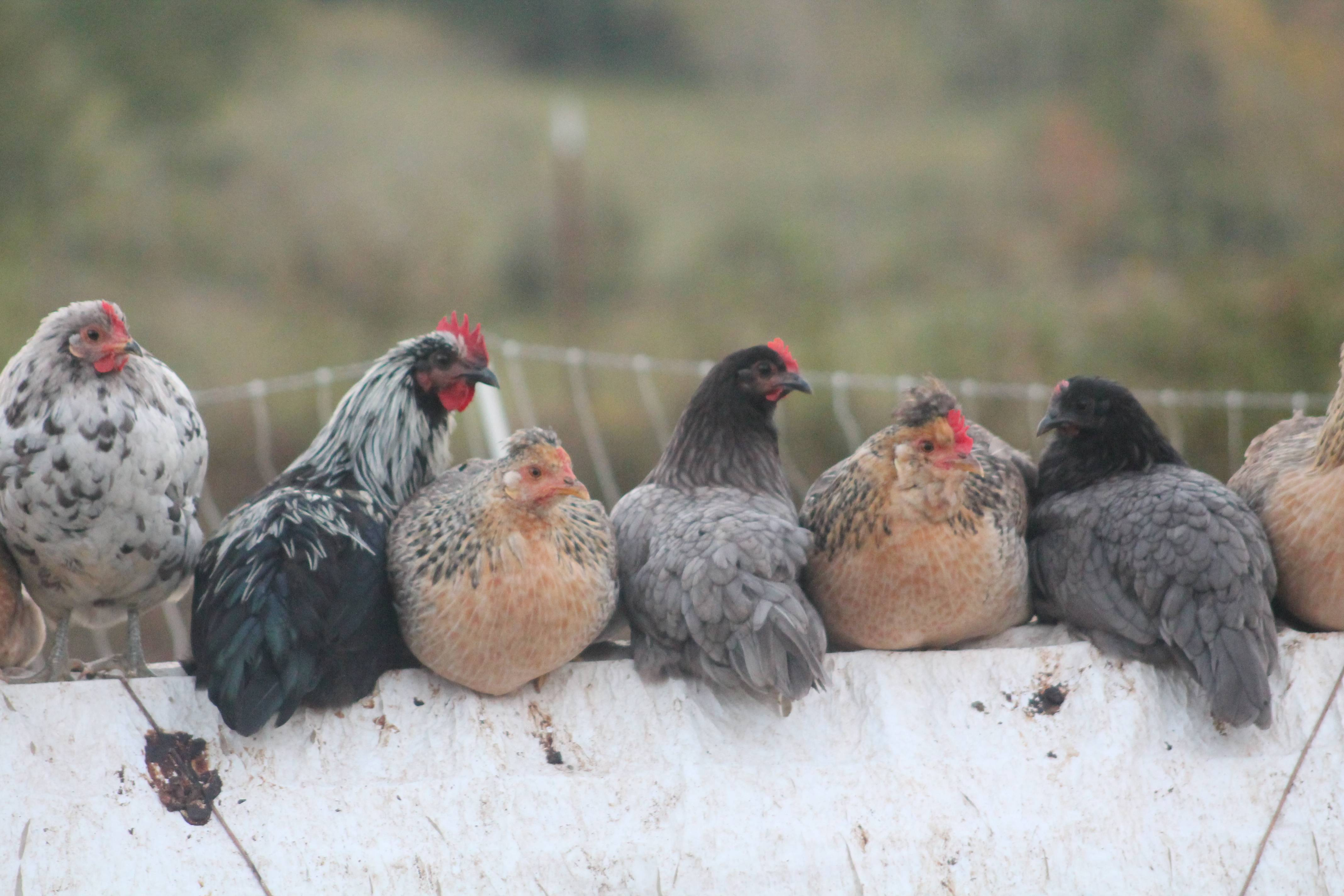 Chickens in a line