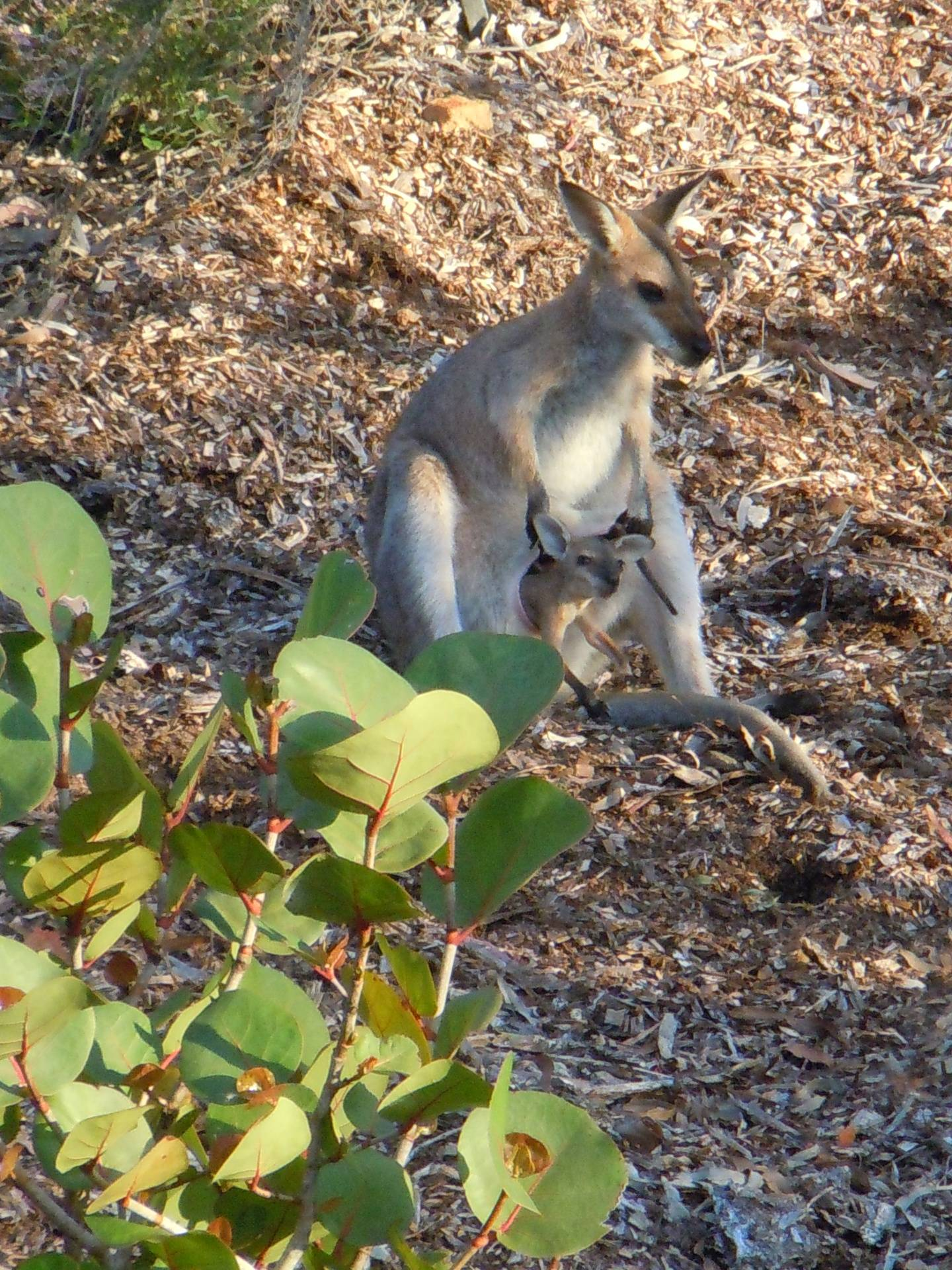Wallaby & Joey sitting on the hillside