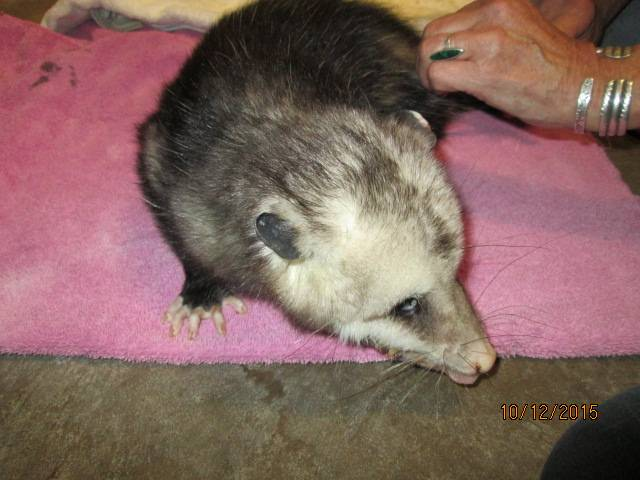 "Black opossum ""Ebony"""