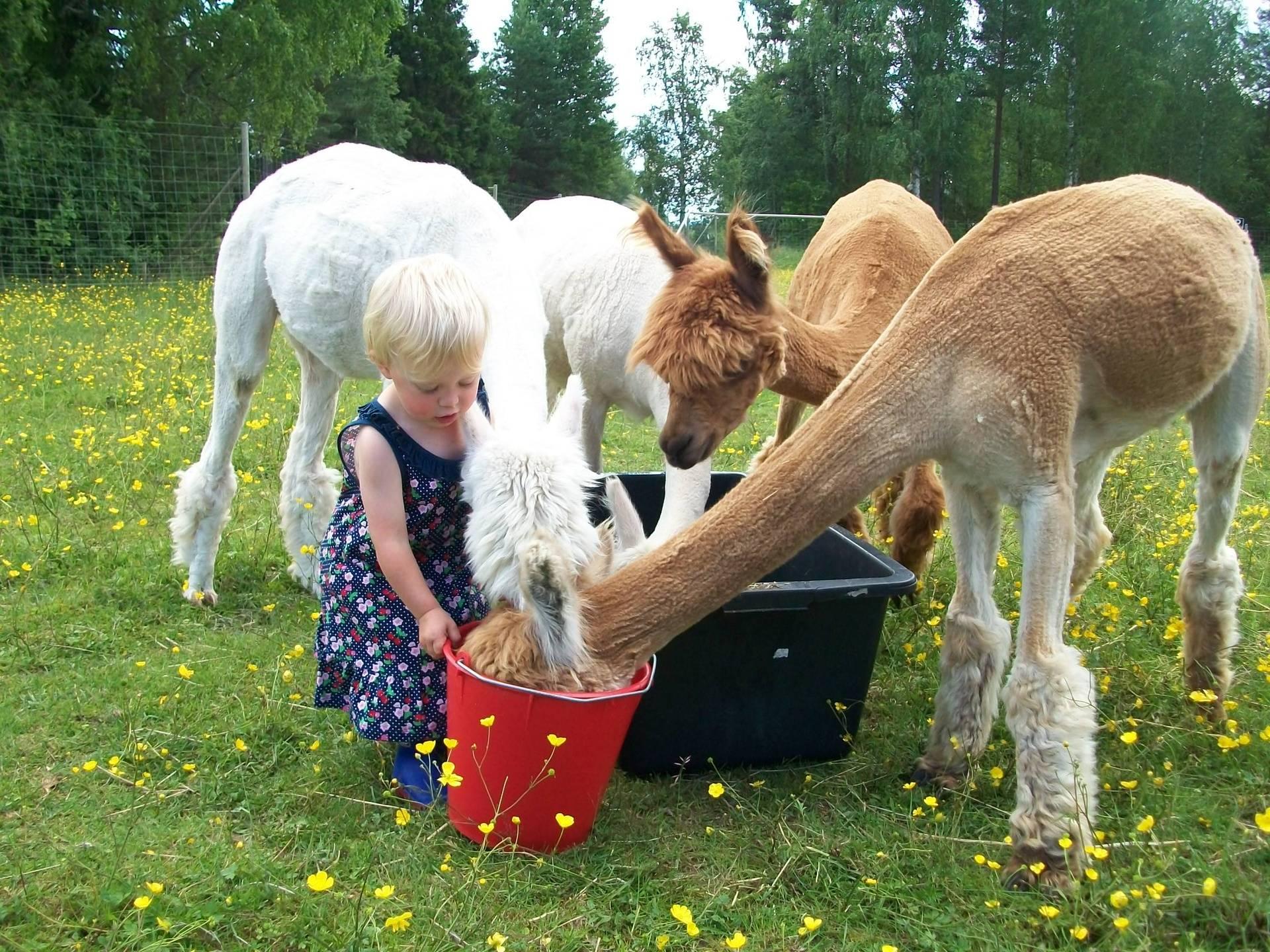Alpaca's eten geven