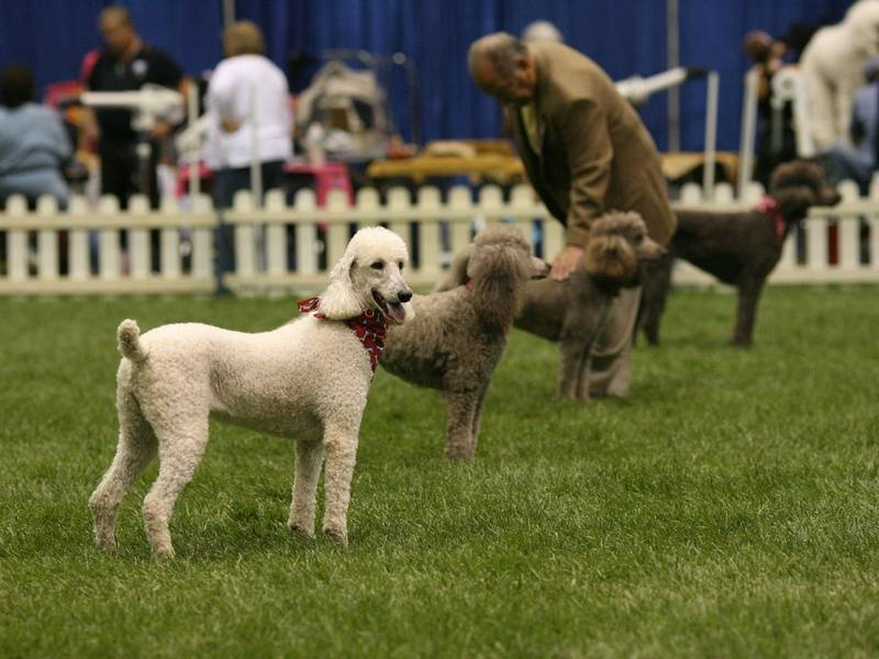 Team Poodle Stand at PCA National Specialty. Zoe, Amber, Airly, and Penny.  4/27/10.