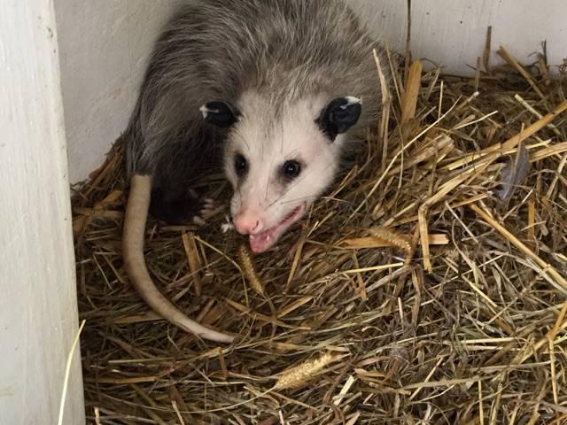 Juvenile Opossum