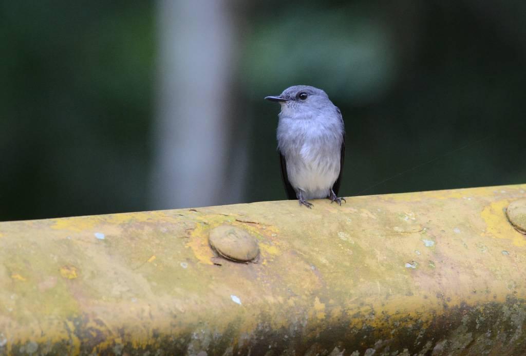 Cassin's Grey Flycatcher