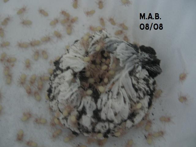 Cyclosternum fasciatum