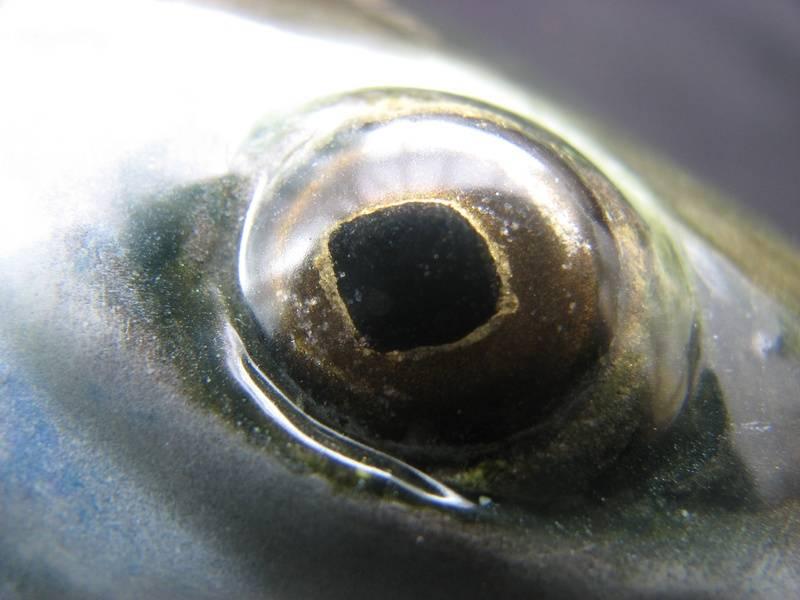 Atlantic salmon, hand painted eye.