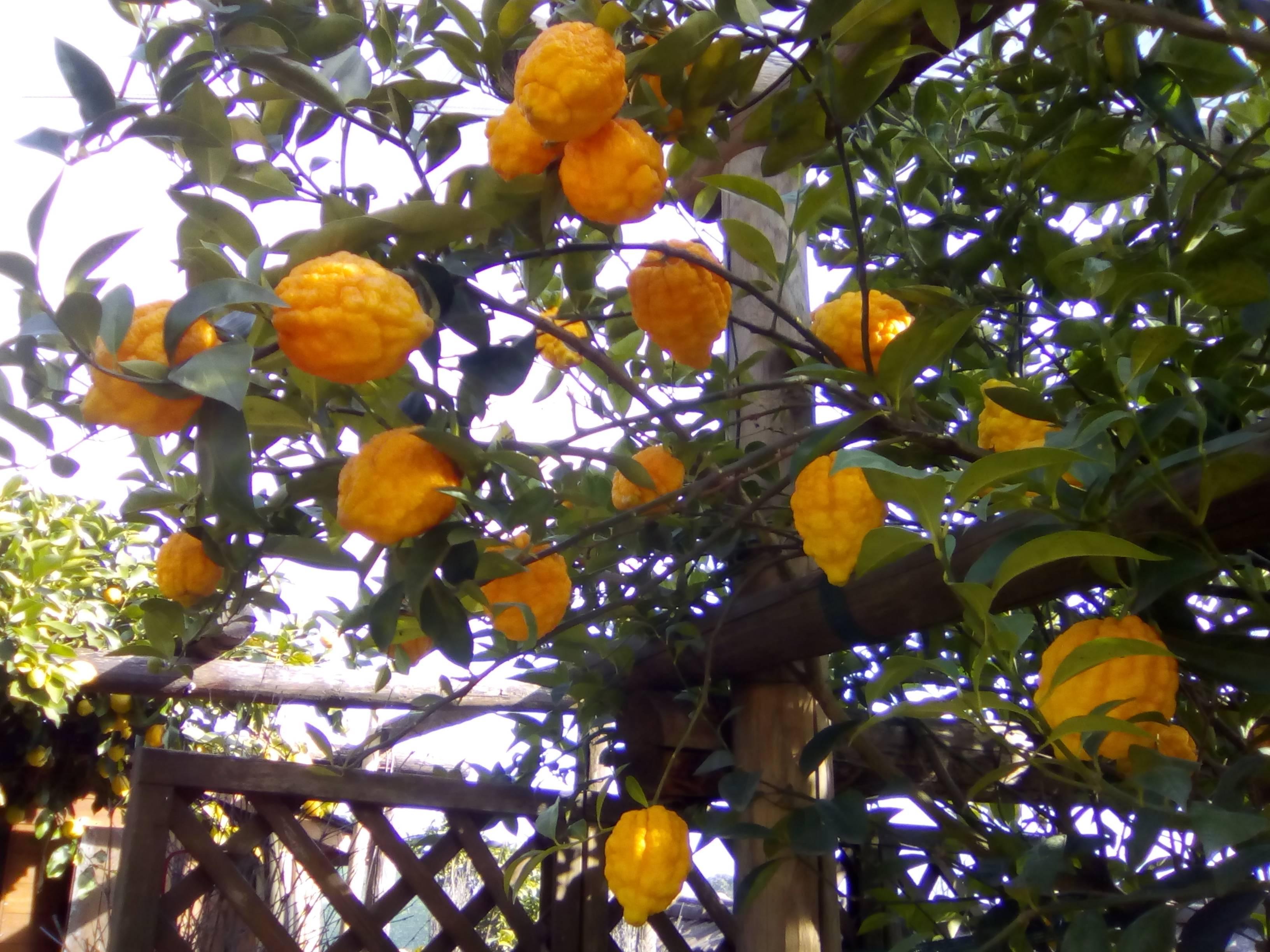 Citrus fruits of Cannero Riviera (VB)