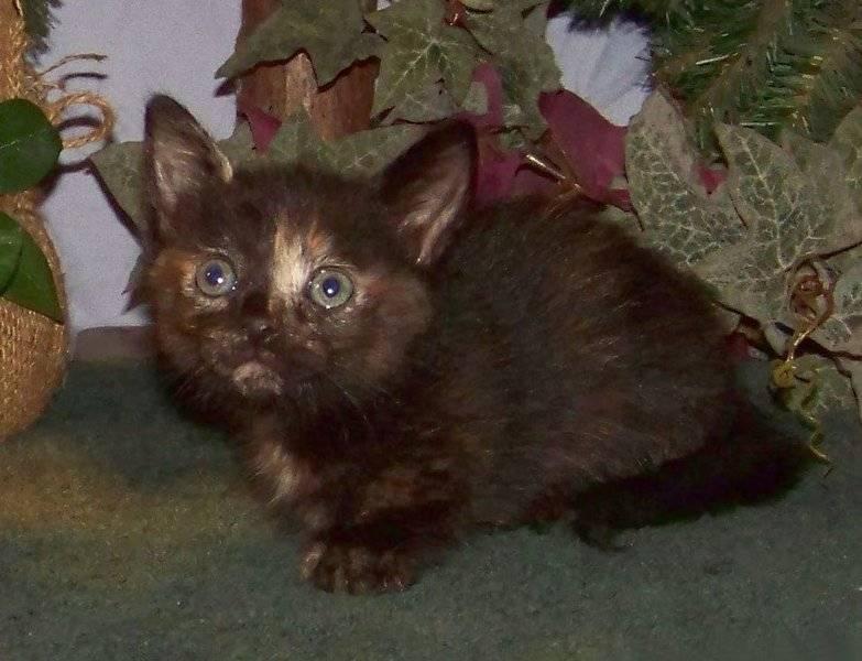 Mom Sassy's little tortie shorthair Munchkin girl