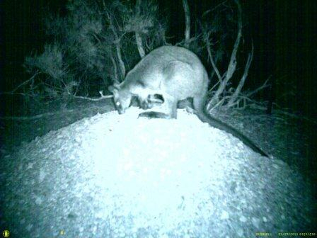 Wallaby on Malleefowl Mound