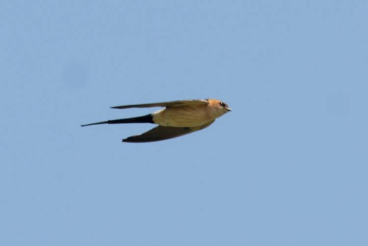 Red-rumped Swallow  -  HIRONDELLE ROUSSELINE