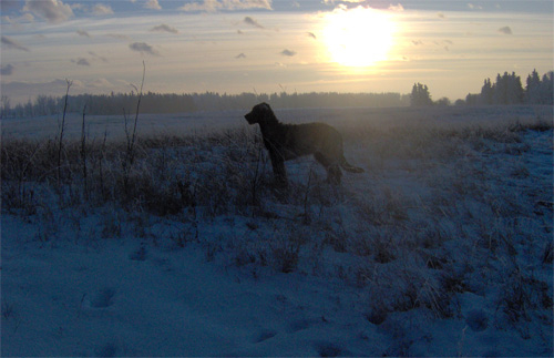 Wolfhound Sunset