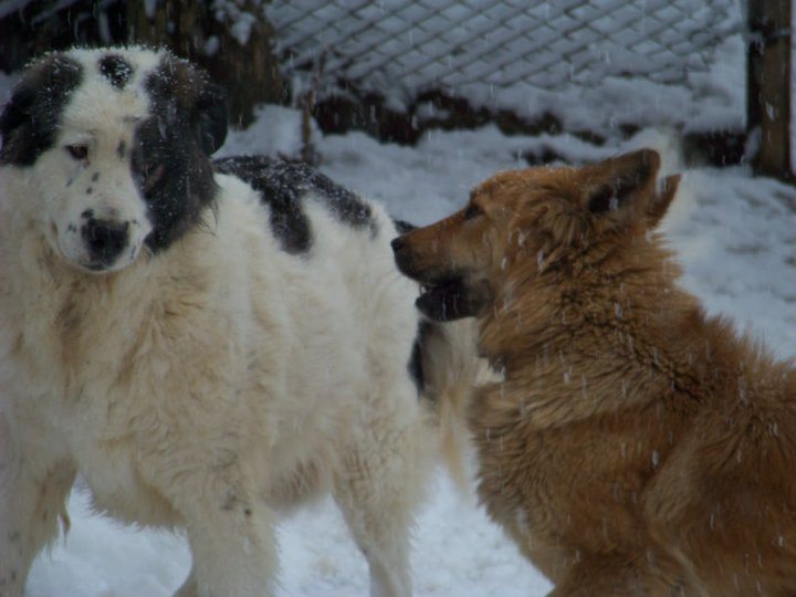 Hercules and Queenie playing in the snow.