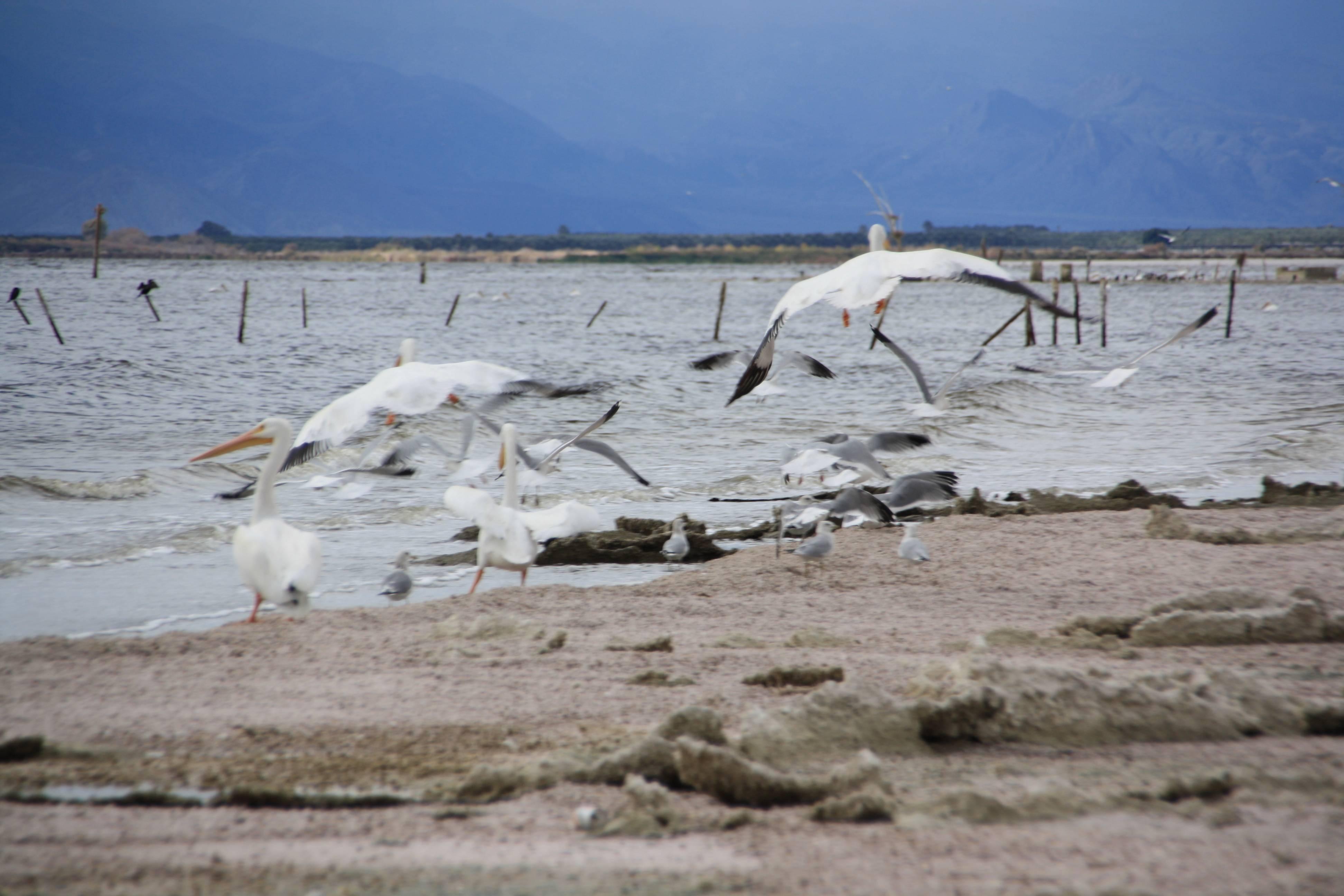 Birds at Salton Sea in CA