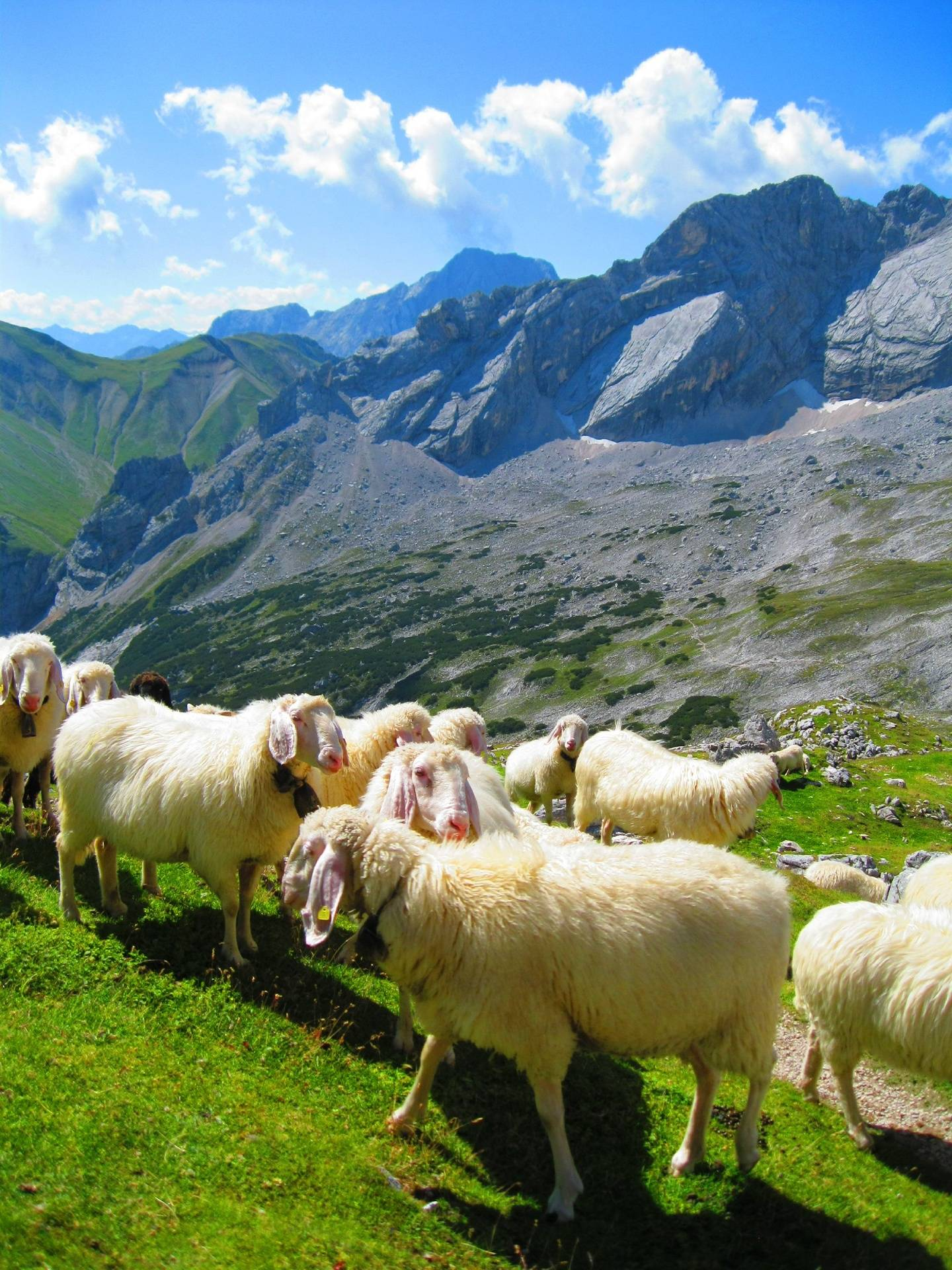 Mountain Sheep 2