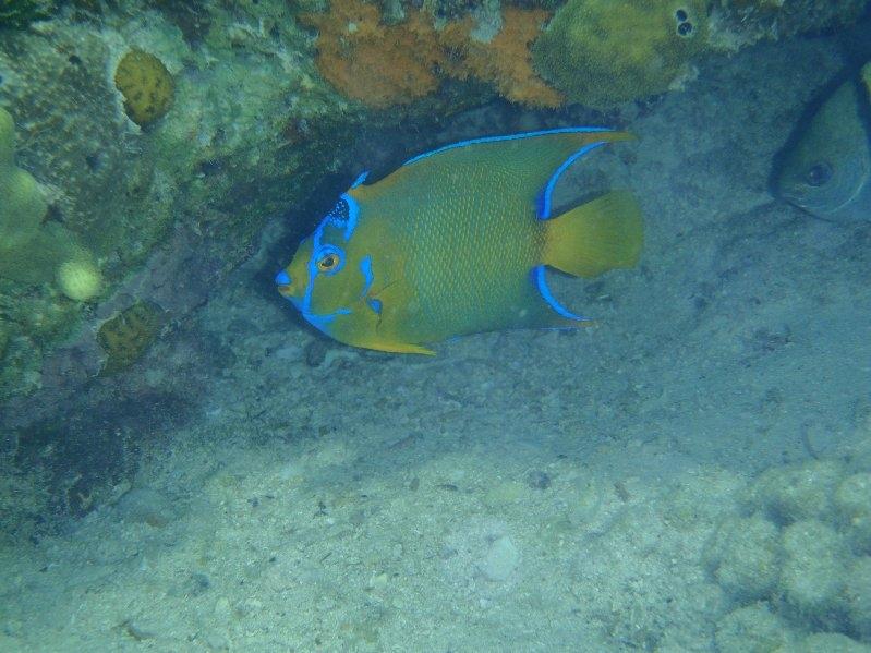 Angelfish at Matt Lowes Cay