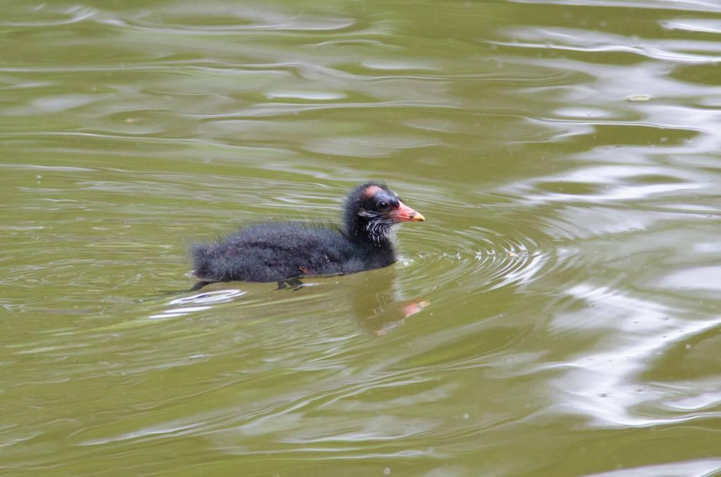Moorhen (Gallinule poule d'eau)