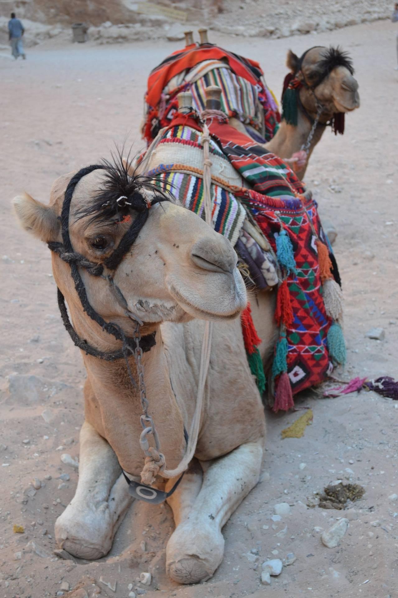 Camel Face 3