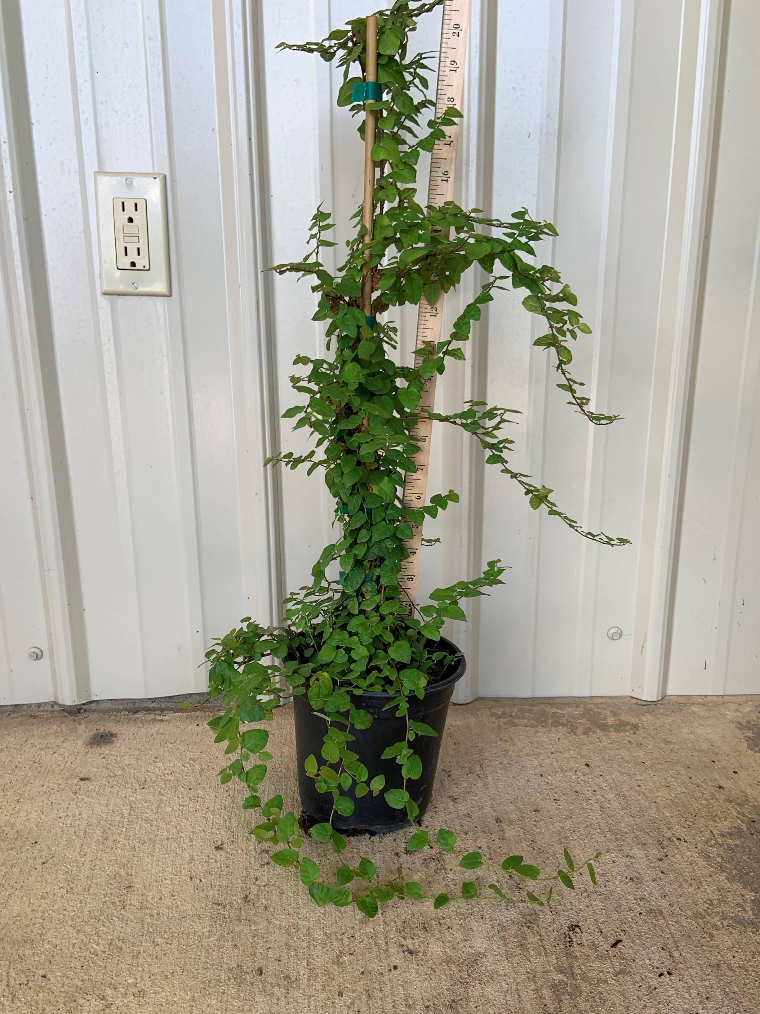 fig ivy stalked