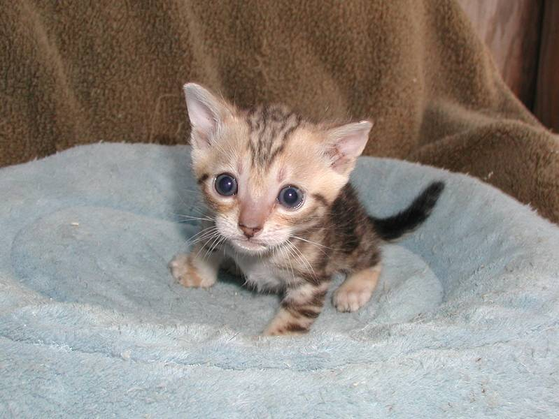 From my second Munchkin litter, a Bengal Munchkin brown marble boy