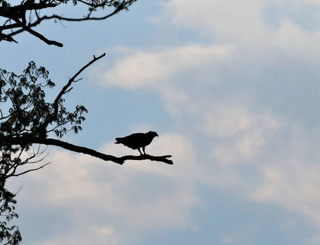Mai - May.  Balbuzard - Osprey