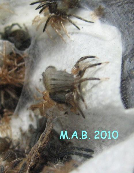 """Chilobrachys sp."""" guangxiensis"""""""