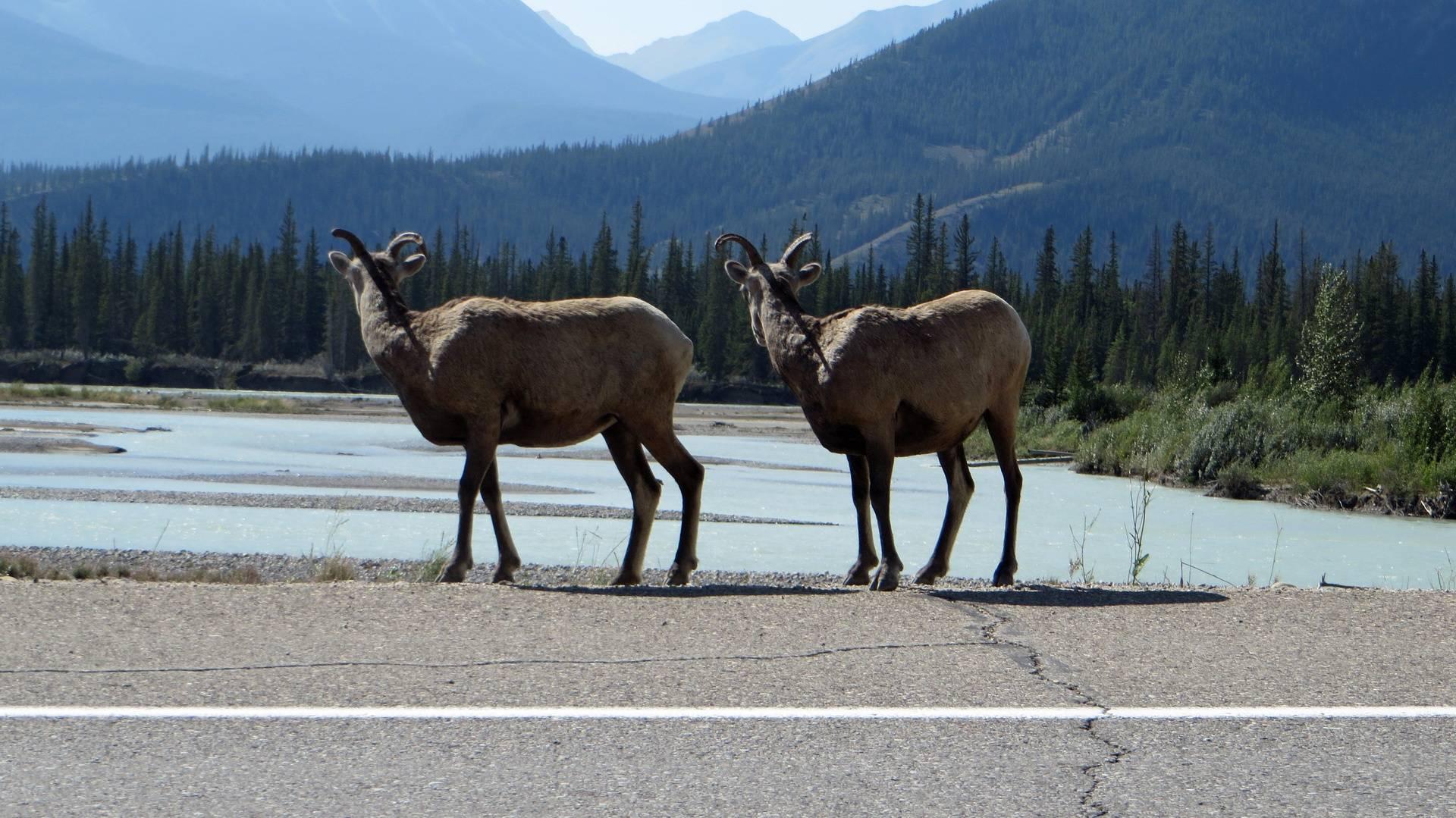 Deer on road from Jasper to Edmonton