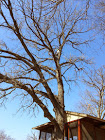 Winter Oak Trims