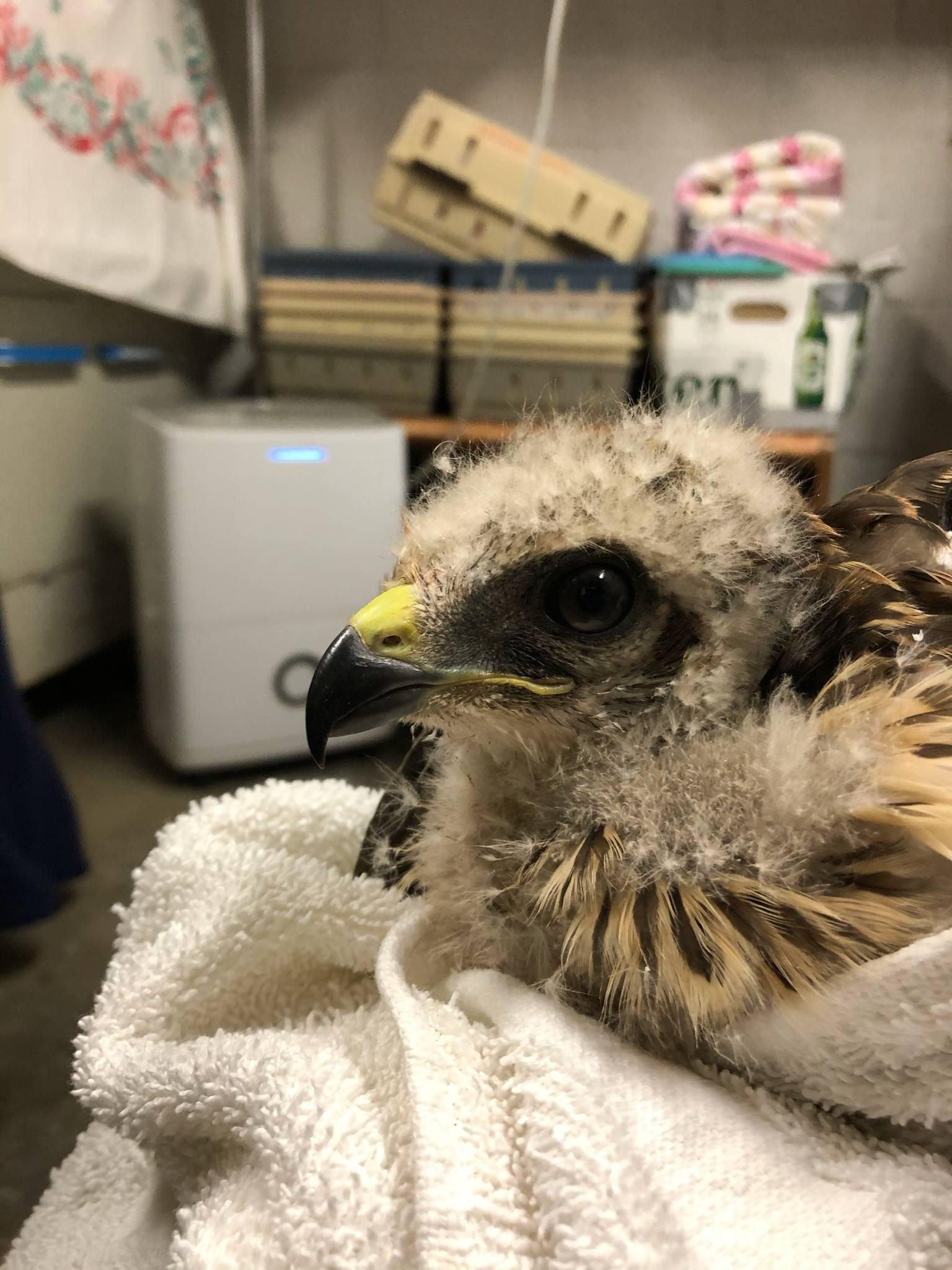 Red Shouldered Hawk Nestling
