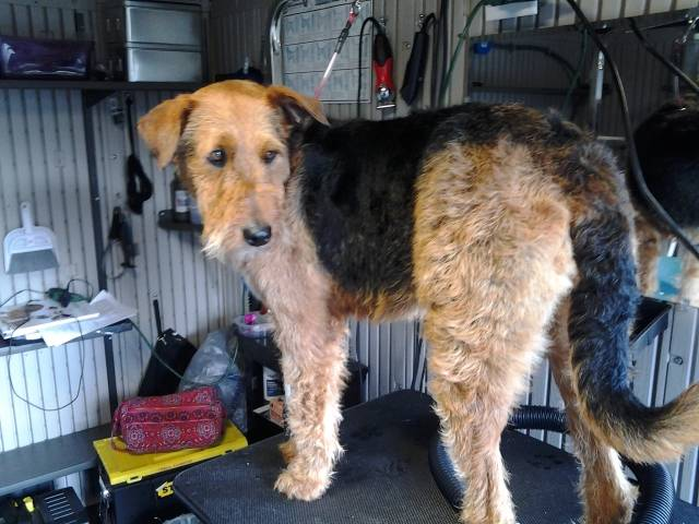 Airedale- mix