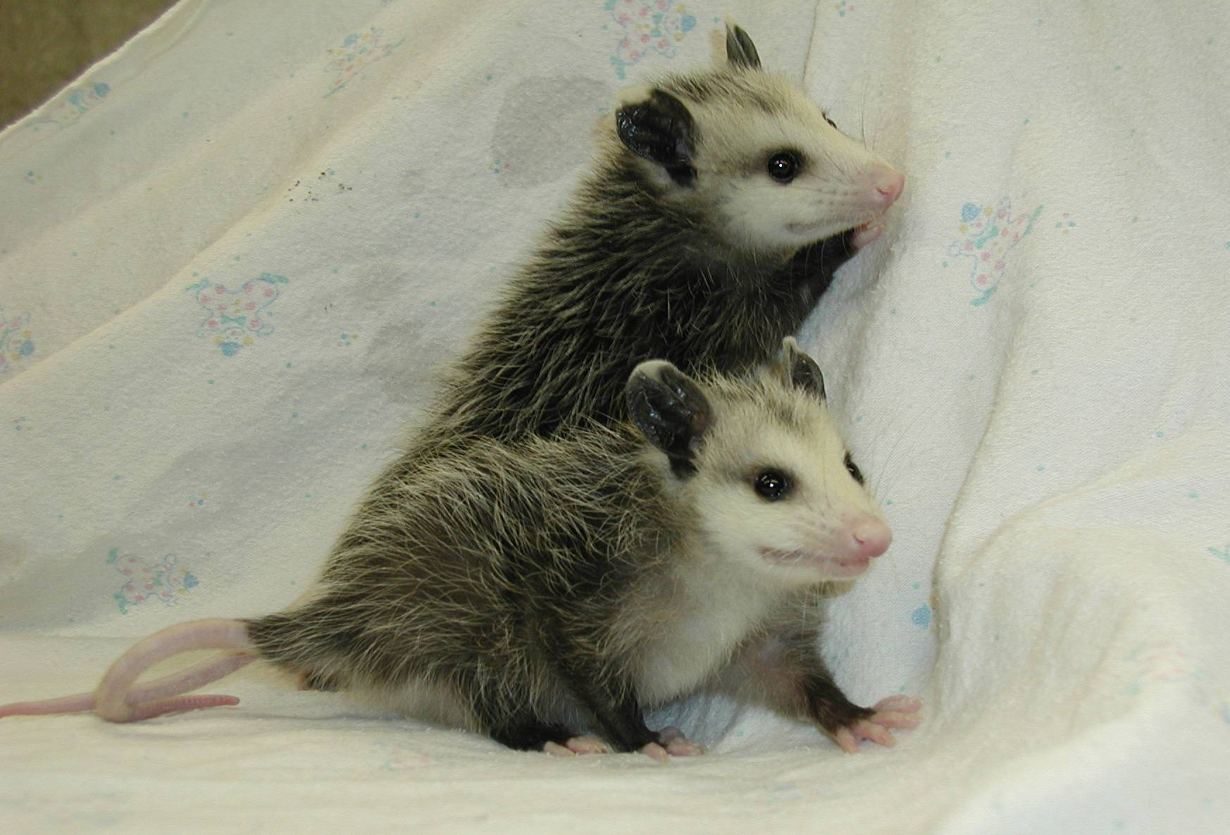 Young Virginia Opossums