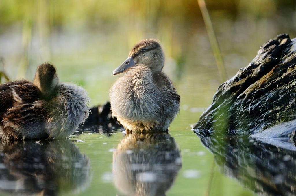 Jeune canard colvert - Duckling