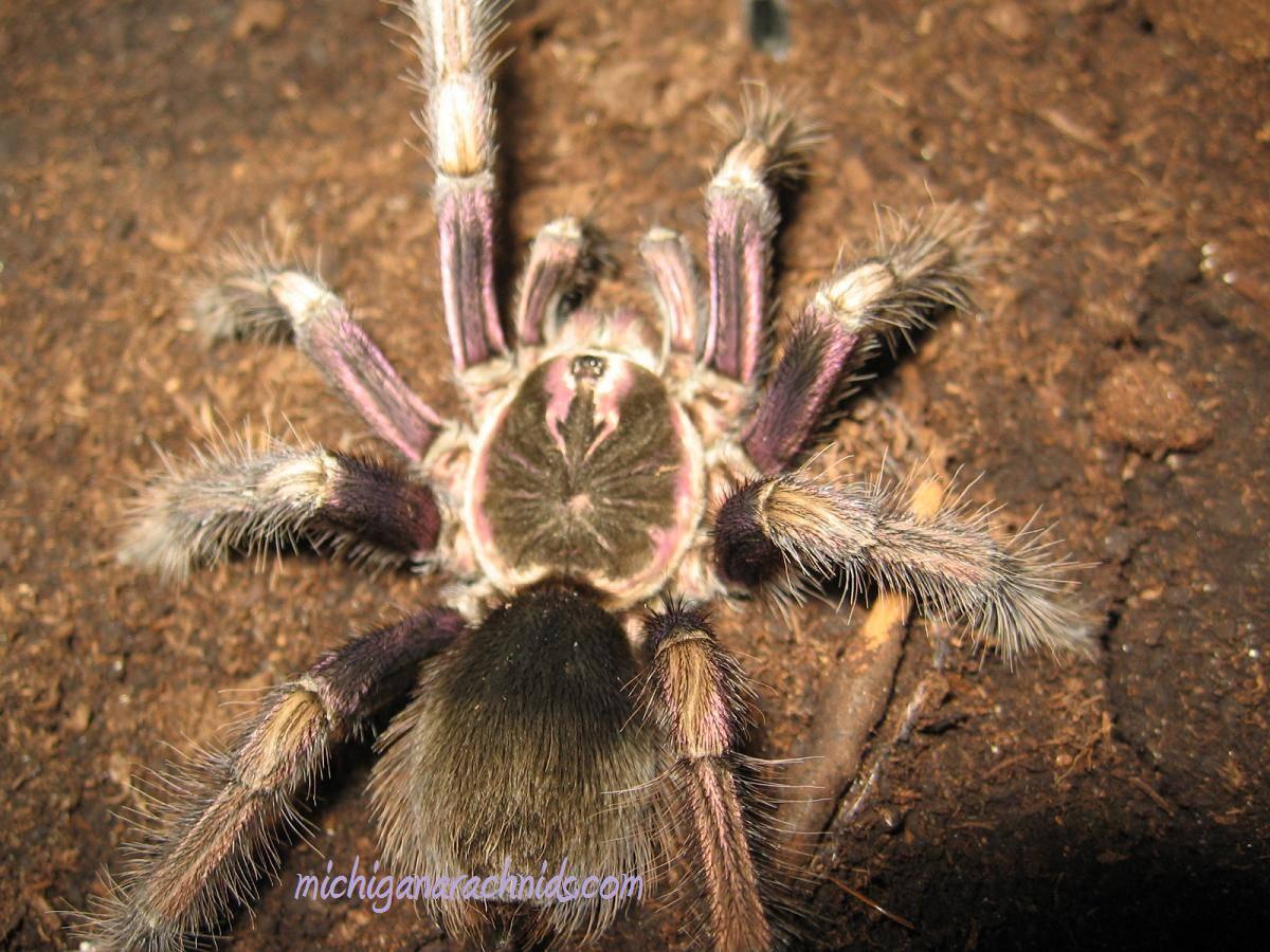 P.ultramurinus MM 2011