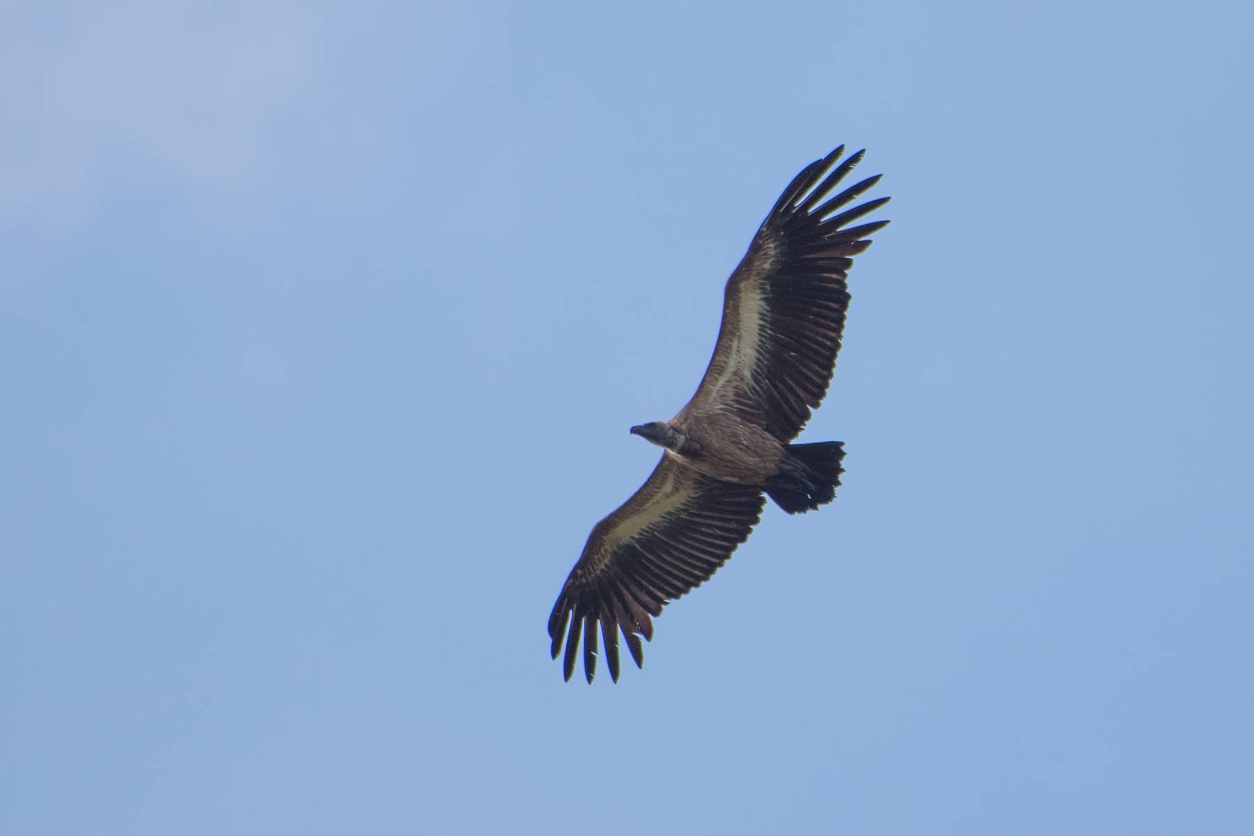 White-rumped Vulture
