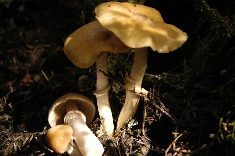 The Gypsy Mushroom