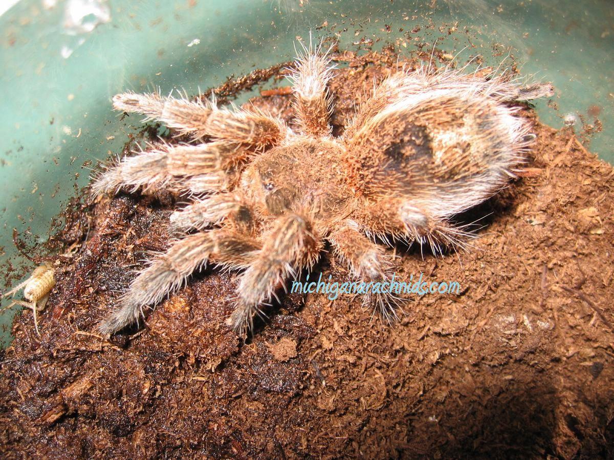 Euathlus sp. formerly Paraphysa scrofa