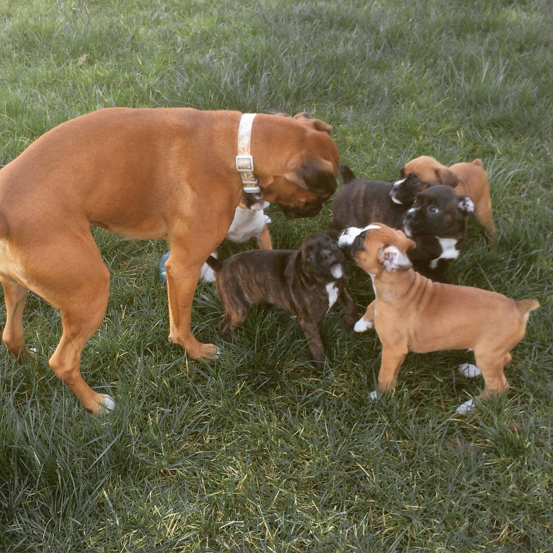 Auntie Stassi playing with pups
