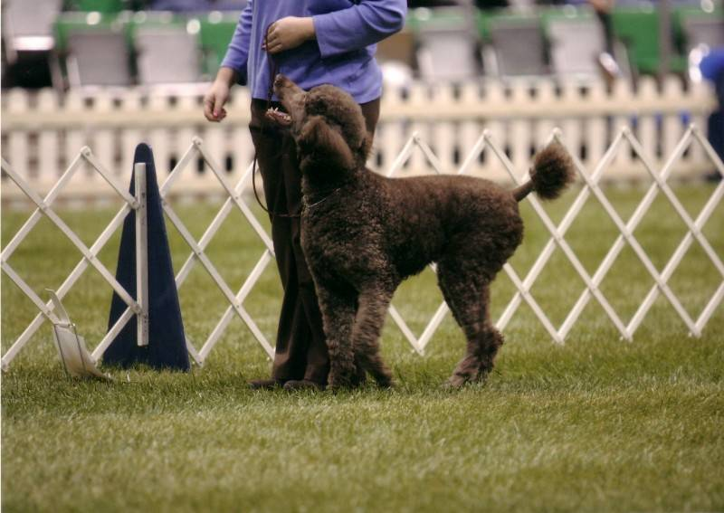 Penny heeling in Rally Novice B at PCA National Specialty. 4/22/08.