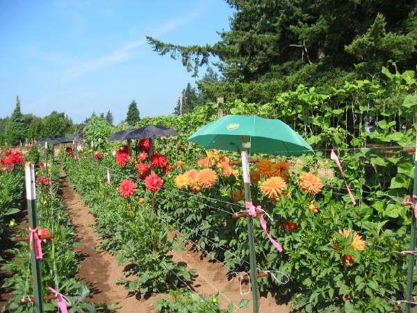 More umbrellas in the Garden