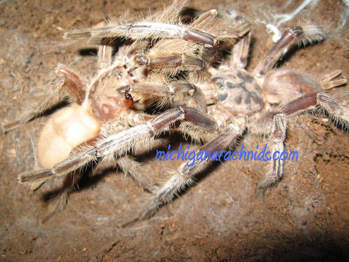 Chilobrachys sp.Sai Yok
